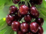 Export Chelan Cherries